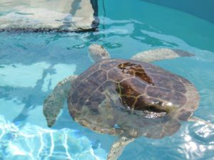 If You Love Sea Turtles Be Sure To Check Out The Loggerhead Marine